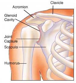 Shoulder bone structure